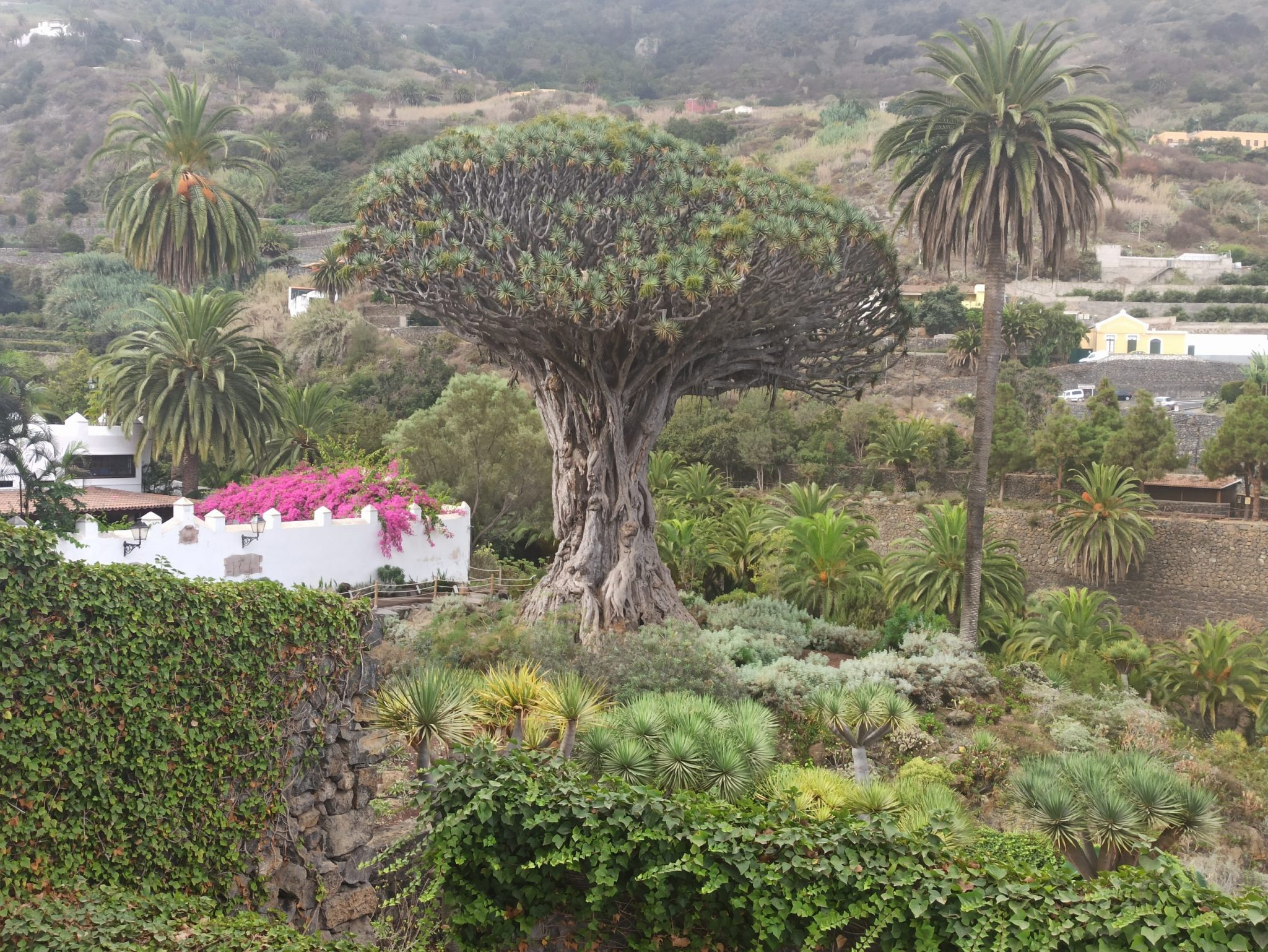 A photo of a large tree in Tenerife, which Amanda photographed after moving away from Madrid