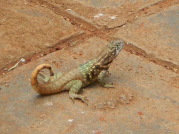 A curious lizard