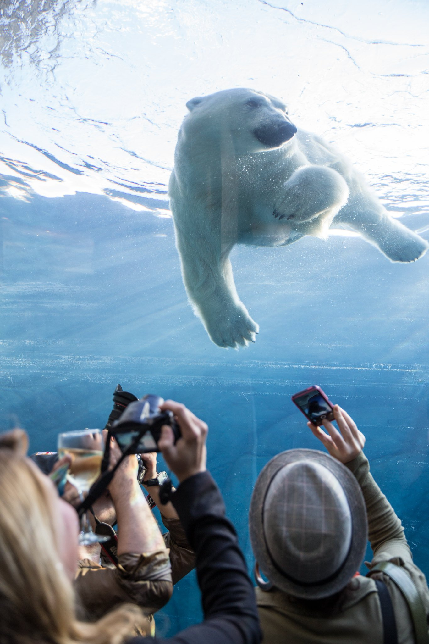 A photo of a polar bear swimming behind glass at the Assiniboine Park Zoo, one of the best things to do in Winnipeg