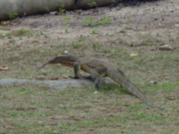 One of the many monitor lizards roaming Air Batang.