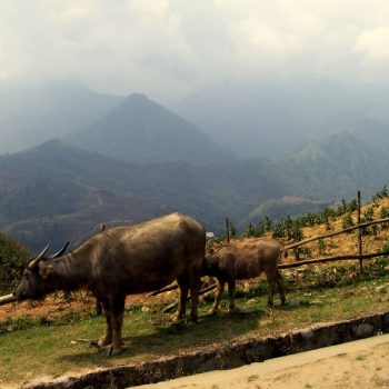 A photo of some cattle with a mountain in the backdrop, one of many reasons to visit Sa Pa