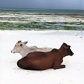 Some cows on Kiwengwa Beach