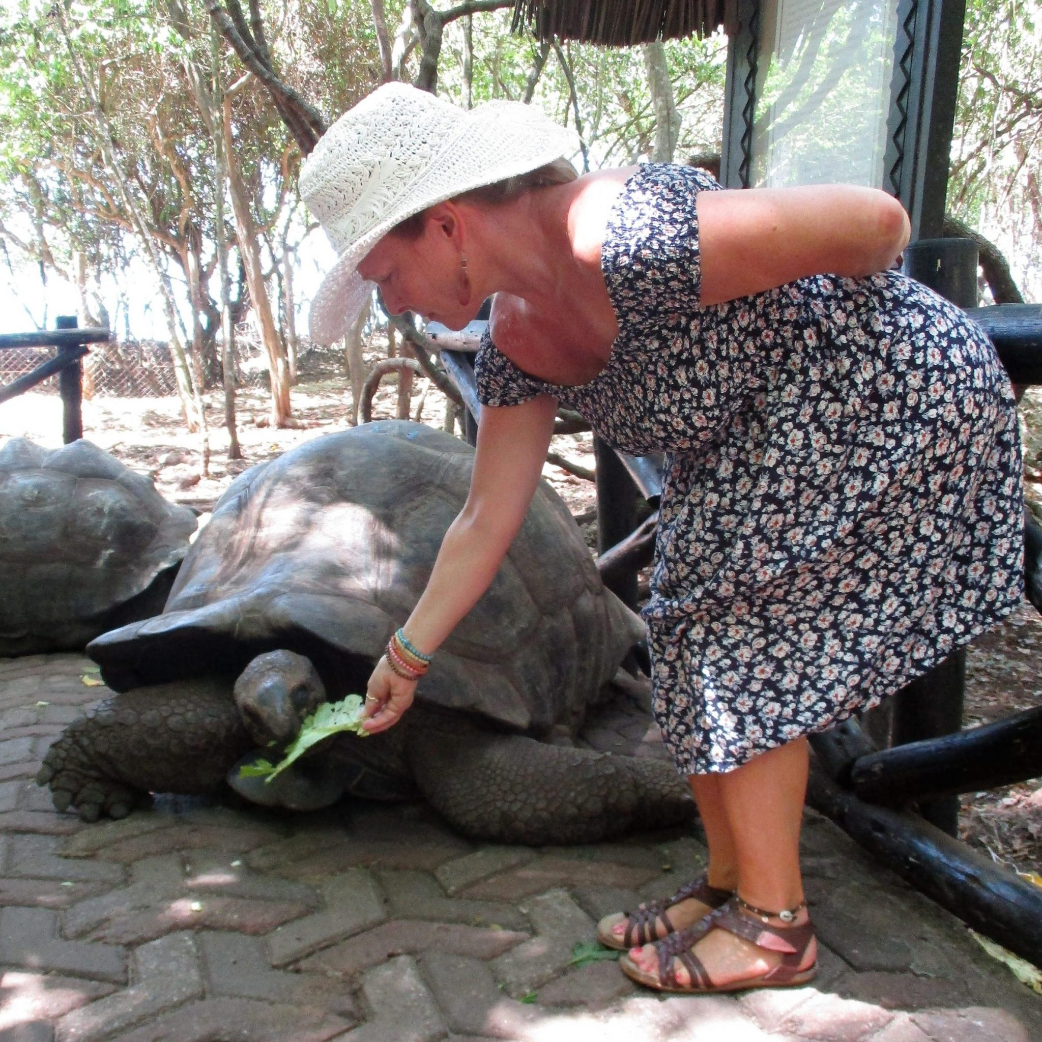 Ed's wife feeding a giant tortoise