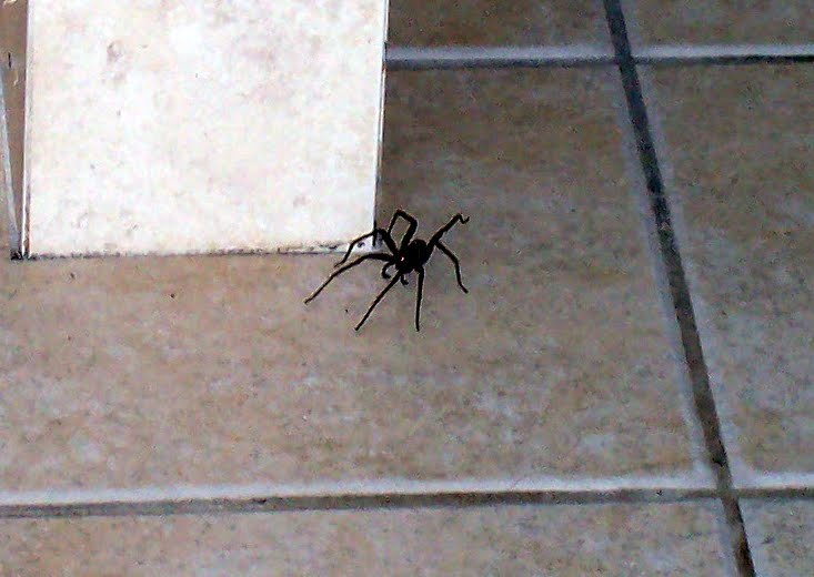 A spider that crawled from the jungle near Belize City