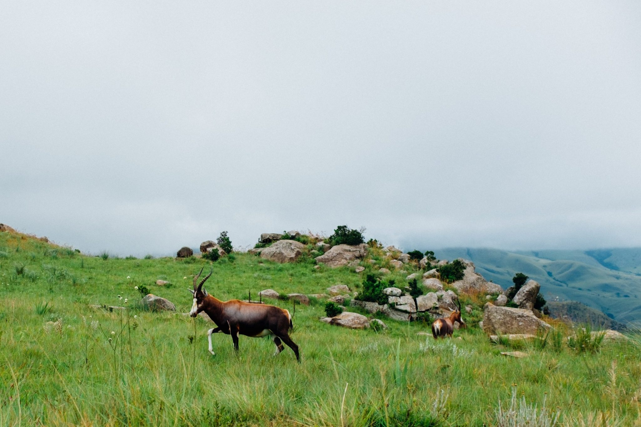 Antelope in Swaziland National Park