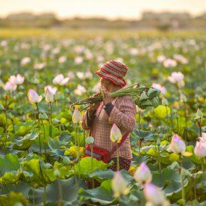 A farmer harvesting lotus flowers.